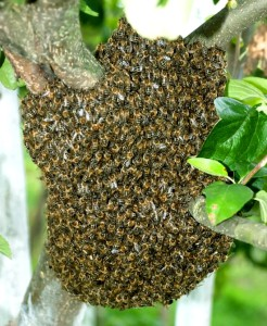 Peeps, the first bee swarm of the season was spotted today in the Moore/Norman area. If you see anything that looks like this, please don't spray it with chemicals. Please call Queen Bri's Honey, aka ME, ASAP, and I'll come get it for free. They can land almost anywhere - businesses (I removed one from the parking lot of a business last year, and I think everyone from inside the building came out to watch me collect it from a safe distance.), residences, apartment complexes, roadsides, fields, anywhere. The bee swarm cannot be inside a wall, chimney, inside a tree, or on the interior of any structure. But, if it's on a bush, the ground, exterior wall, tree up to 12 feet, or anything else that is outside and below 12 feet, we can get it for you. We will give it a new hive box and frames of honey to help get it re-established. If you live too far outside of Queen Bri's Honey service area, we have many other beekeepers that service areas outside our area of coverage. Please share!