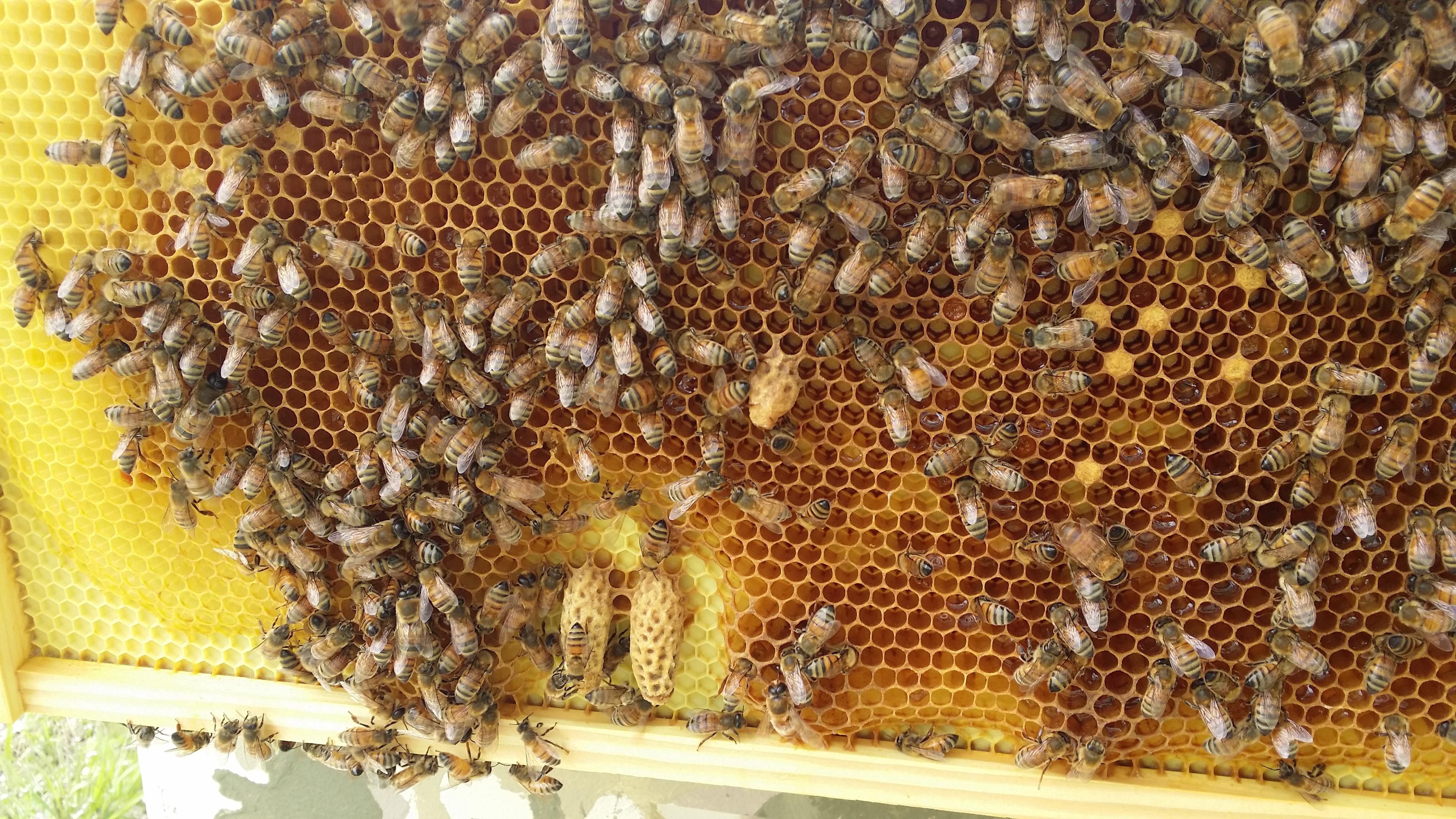 routine beehive maintenance checks award winning local honey from okc