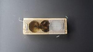 queen-bee-cage