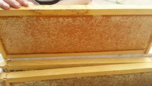 beehive-maintenance-frame-of-capped-honey