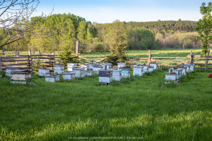 beehives-bee-yard